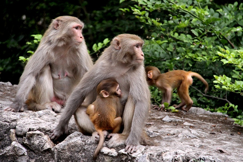 Monkeys roaming in Daman e koh, Top Places to Visit in Islamabad