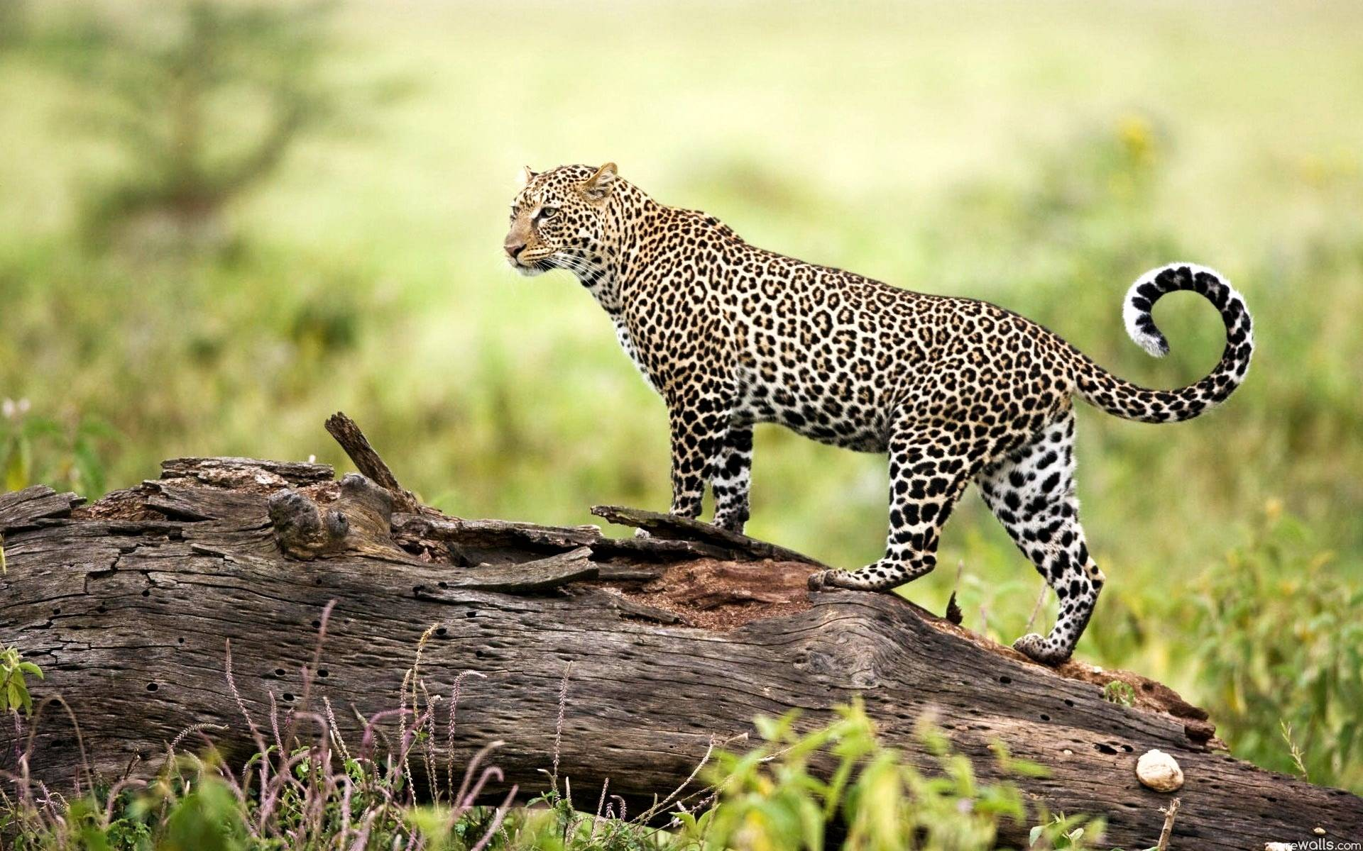 leopard standing over the wood - things to do in Nepal
