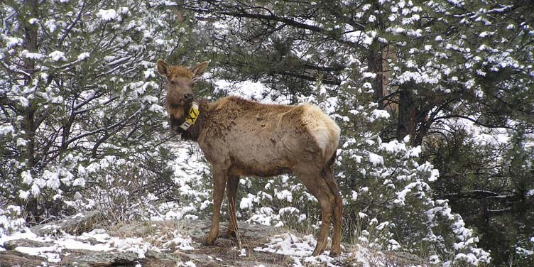 elk, Things to do in Banff