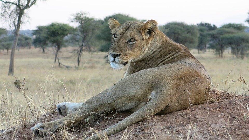 Lion Steppe Wildlife. Things to do in Hamilton, Canada