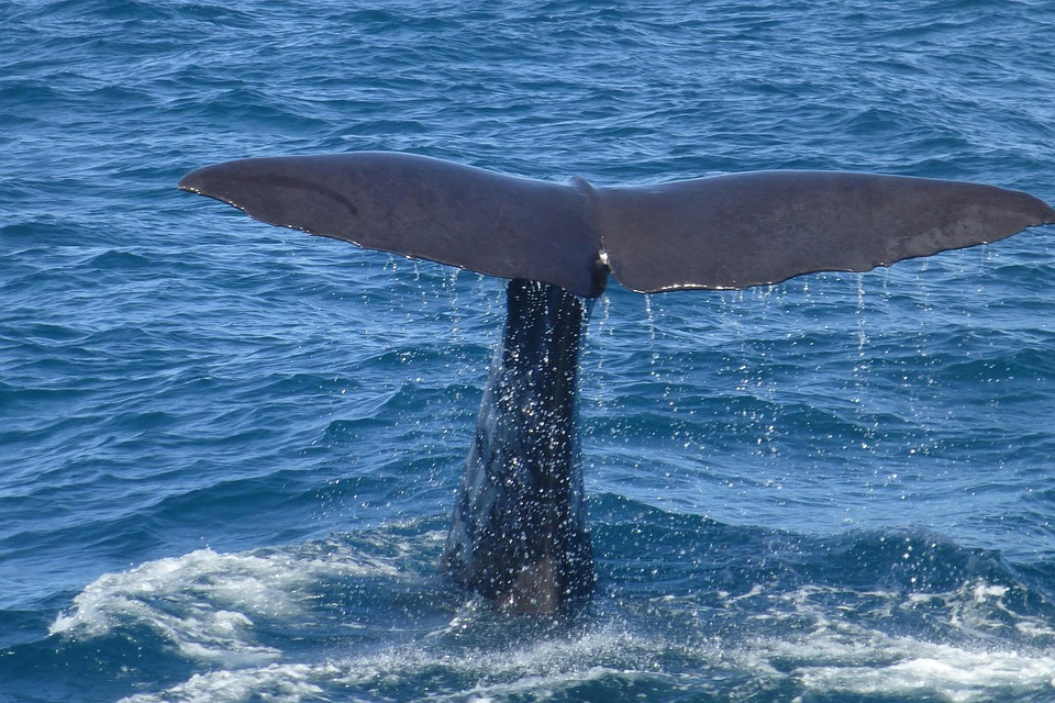 whales watching, Things to do in Vancouver