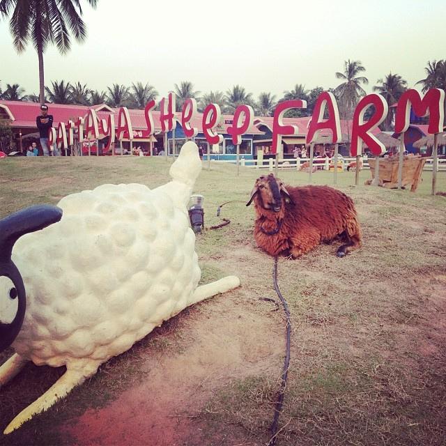 sheep farm Pattaya - things to do in Pattaya